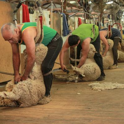 Woolsheds and Shearing