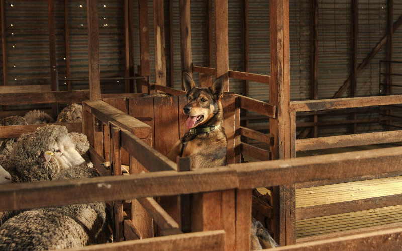 Dog in the woolshed
