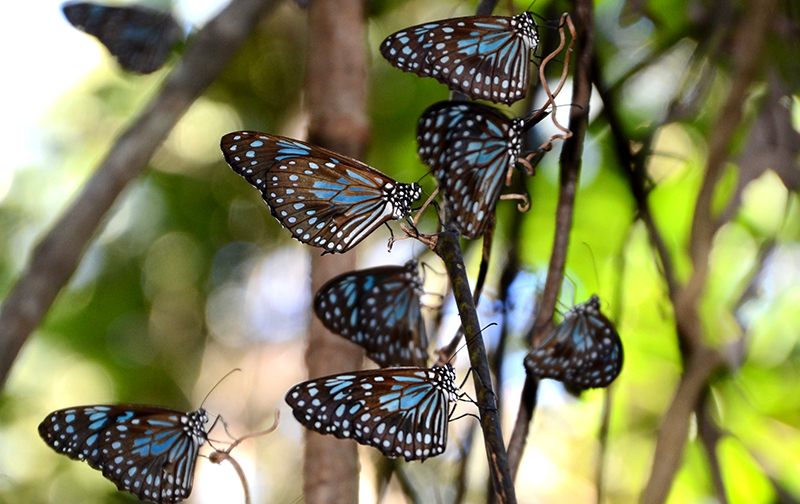 Magnetic Island butterflys